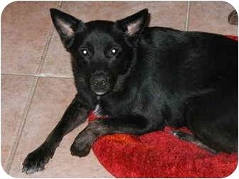 Flat-Coated Retriever/Labrador Retriever Mix Dog for adoption in Cocoa, Florida - Homer