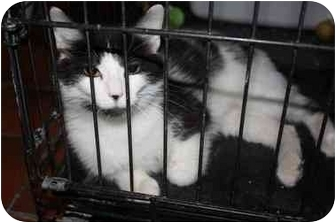 Domestic Shorthair Cat for adoption in Owasso, Oklahoma - Nala