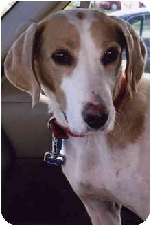 Brittany/Hound (Unknown Type) Mix Dog for adoption in Owatonna, Minnesota - Annie