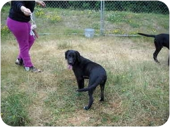 Labrador Retriever Dog for adoption in Tillamook, Oregon - Jill