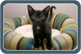 Domestic Shorthair Kitten for adoption in Sterling Heights, Michigan - Little Bear  ADOPTED!