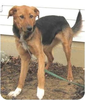 German Shepherd Dog/Saluki Mix Dog for adoption in Hillsboro, Ohio - Toni