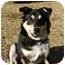 Photo 3 - Sheltie, Shetland Sheepdog/Australian Shepherd Mix Dog for adoption in Mocksville, North Carolina - Nikki
