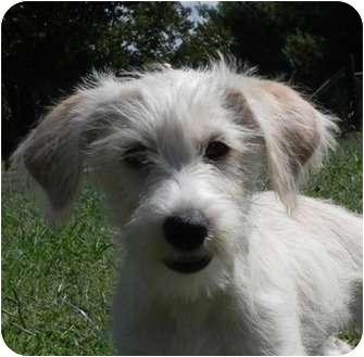 Yorkie, Yorkshire Terrier/Schnauzer (Miniature) Mix Puppy for adoption in Hagerstown, Maryland - Fiona