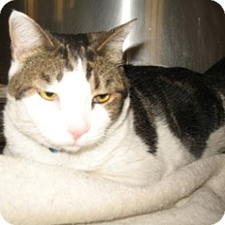 Domestic Shorthair Cat for adoption in Tucson, Arizona - Mikey