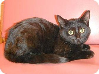 Domestic Shorthair Kitten for adoption in Jackson, Michigan - Bella