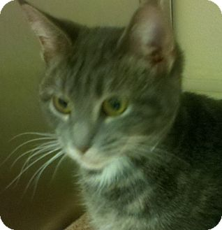 Domestic Shorthair Cat for adoption in Worcester, Massachusetts - Primrose