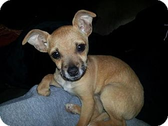 Chihuahua Mix Puppy for adoption in Alamogordo, New Mexico - Chanel