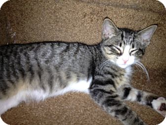 Domestic Shorthair Kitten for adoption in East Hanover, New Jersey - Ray
