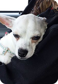Chihuahua Mix Dog for adoption in Covington, Louisiana - Ranchero