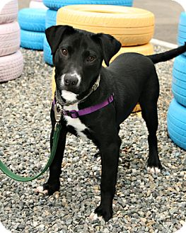 Border Collie/Pit Bull Terrier Mix Puppy for adoption in Bellingham, Washington - Domino