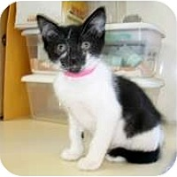 Adopt A Pet :: Persephone - Shelton, WA