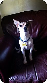 Jack Russell Terrier Mix Dog for adoption in Cedar Rapids, Iowa - Jasmine