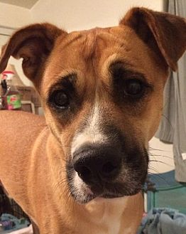 Cattle Dog Mix Dog for adoption in Newport Beach, California - Bruno: Shy Oaf Loves to Play