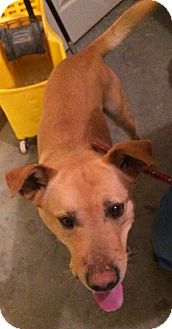 Golden Retriever Mix Dog for adoption in Loogootee, Indiana - Henry
