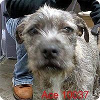 Adopt A Pet :: Ace - Greencastle, NC