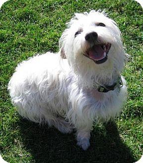 Maltese/Terrier (Unknown Type, Medium) Mix Dog for adoption in Portland, Oregon - Danny Boy
