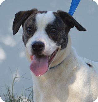 Labrador Retriever Mix Dog for adoption in Manhattan, Kansas - Gatsby