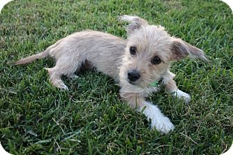 Dachshund/Terrier (Unknown Type, Small) Mix Puppy for adoption in Henderson, Nevada - Lady