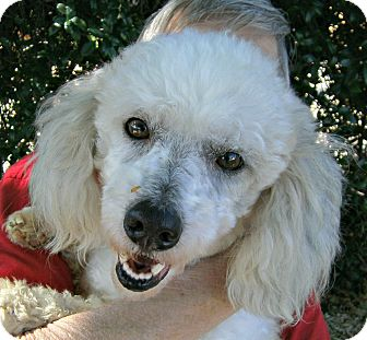Poodle (Miniature) Mix Dog for adoption in Houston, Texas - Arius