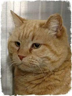 Domestic Shorthair Cat for adoption in Pueblo West, Colorado - Freddy
