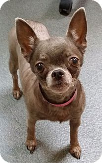 Chihuahua Dog for adoption in S. Pasedena, Florida - Coco Beanie