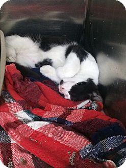 Domestic Shorthair Kitten for adoption in Richboro, Pennsylvania - Sebastian