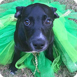 Labrador Retriever Mix Puppy for adoption in CUMMING, Georgia - Madison