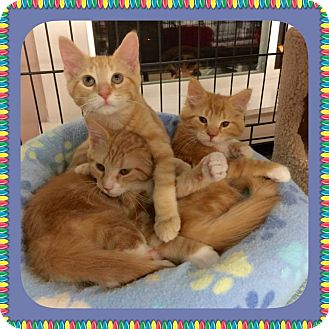 Domestic Shorthair Kitten for adoption in Atco, New Jersey - Olivie