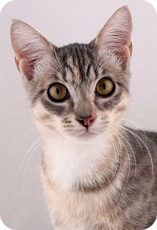Domestic Shorthair Kitten for adoption in Houston, Texas - Silk