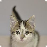 Adopt A Pet :: Shakira - Medina, OH