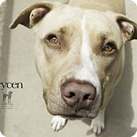 Adopt A Pet :: Brycen - South Bend, IN