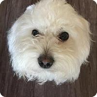 Adopt A Pet :: Prince - Encino, CA