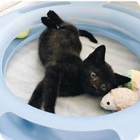 American Shorthair Kitten for adoption in New York, New York - Charlie
