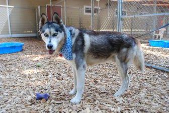 Husky Mix Dog for adoption in Hood River, Oregon - Kenai