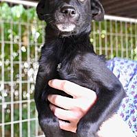Labrador Retriever Mix Puppy for adoption in Danbury, Connecticut - Mike