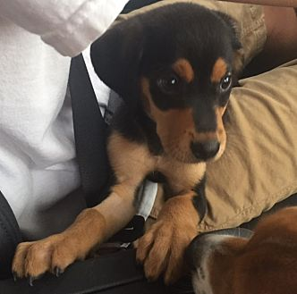 Terrier (Unknown Type, Medium)/Mixed Breed (Medium) Mix Puppy for adoption in Hayes, Virginia - Maggie May