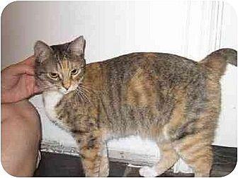 Domestic Shorthair Cat for adoption in Houston, Texas - Nannette