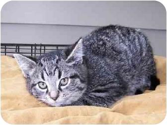 Domestic Shorthair Kitten for adoption in Gallatin, Tennessee - KITTEN 4