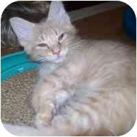 Domestic Mediumhair Kitten for adoption in Tampa, Florida - Bushy Tail