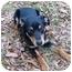 Photo 2 - Miniature Pinscher Mix Dog for adoption in Mocksville, North Carolina - Buddy