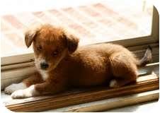 Golden Retriever Mix Puppy for adoption in Portland, Maine - Binkley