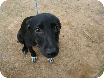Whippet Mix Puppy for adoption in Guaynabo, Puerto Rico - Yenala