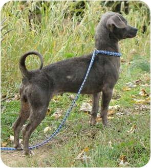 Chihuahua Mix Dog for adoption in Fairmount, Georgia - Kellie
