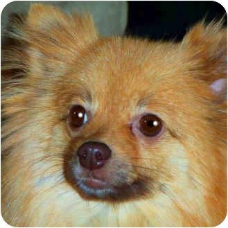 Pomeranian Dog for adoption in Kokomo, Indiana - Buffy
