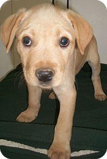 Labrador Retriever Mix Puppy for adoption in Hagerstown, Maryland - Vanessa