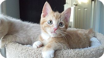 Domestic Shorthair Kitten for adoption in Smithfield, North Carolina - Dublin