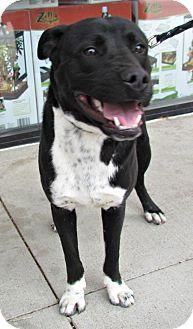 Labrador Retriever Mix Dog for adoption in justin, Texas - Bert