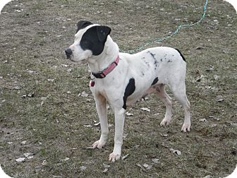 American Pit Bull Terrier Dog for adoption in River Falls, Wisconsin - Sasha