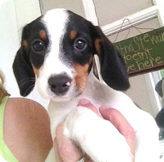 Dachshund/Jack Russell Terrier Mix Puppy for adoption in Richmond, Virginia - Clover
